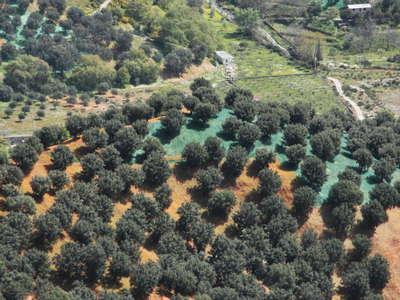 Aspromonte | Olive tree cultivation