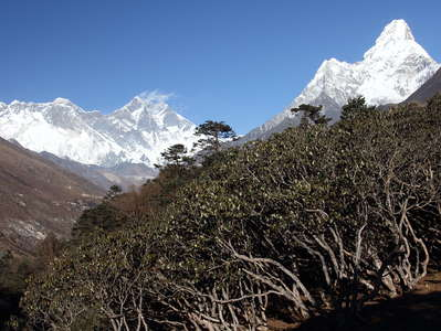 Tengboche  |  Mountain forest with Rhododendron