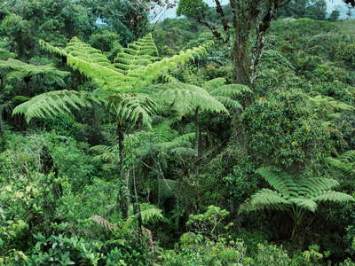 Isnos  |  Tree fern