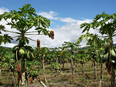 Cauca valley  |  Papaya cultivation