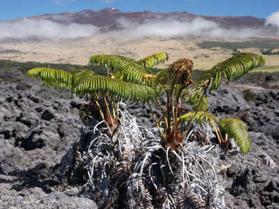 Saddle  |  Lava flow with tree ferns