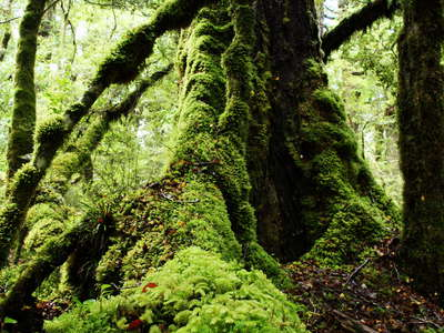Fiordland NP  |  Temperate rainforest