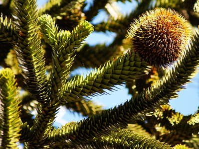 PN Conguillío  |  Cone of Araucaria tree