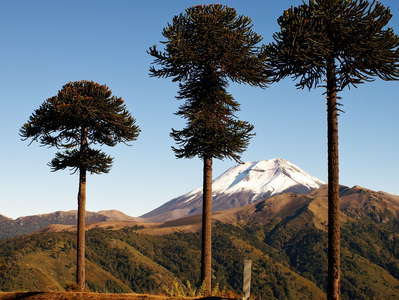 Cuesta Las Raices  | Araucaria trees and Volcán Lonquimay