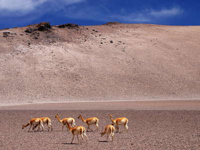 Salar de Aguas Calientes  |  Altiplano with vicuñas