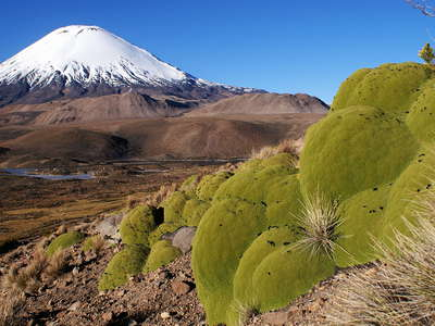 PN Lauca  |  Llareta and Volcán Parinacota