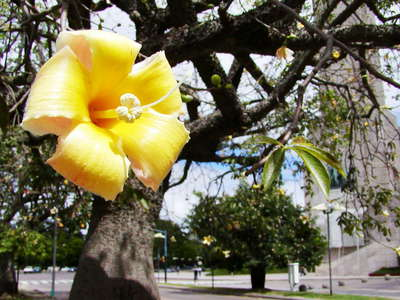 Rosario  |  Flower of floss silk tree