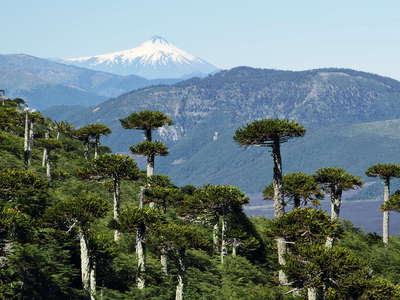 PN Conguillío  |  Araucaria trees and Volcán Villarrica