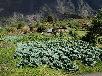 Cirque de Cilaos  |  Vegetable cultivation