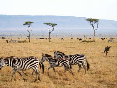 Masai Mara NR  |  Savanna with zebras