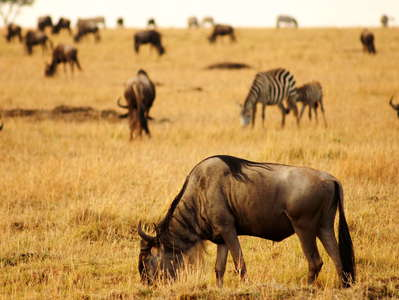 Masai Mara NR  |  Savanna with wildebeests