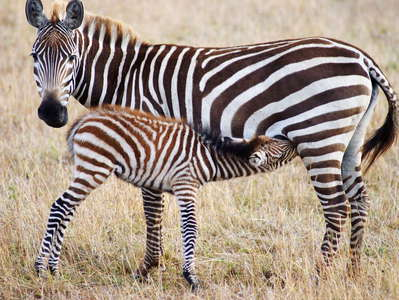 Masai Mara NR  |  Zebra with offspring