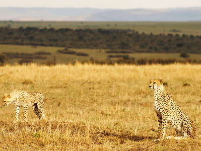 Masai Mara NR with Cheetah