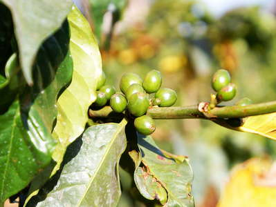 Nyeri  |  Coffee plantation