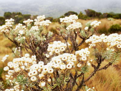 Mount Kenya NP  |  Helichrysum chionioides