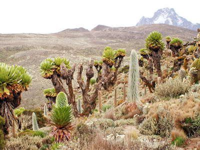 Mount Kenya NP  |  Afroalpine vegetation