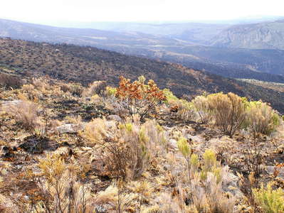 Mount Kenya NP  |  Burnt heathland