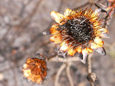 Mount Kenya NP  |  Burnt protea flower