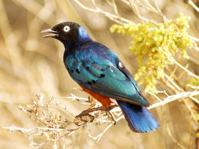 Samburu Buffalo Springs NR  |  Superb starling