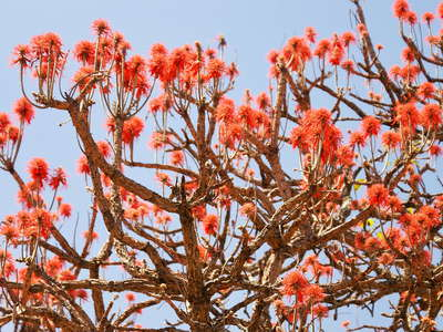 Nakasongola  |  Flowering coral tree