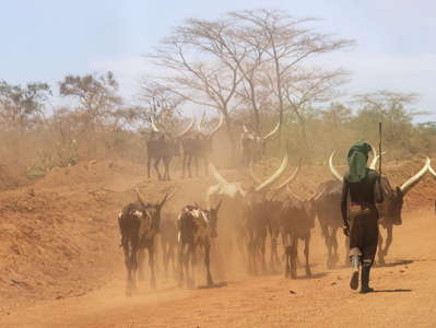 Nakasongola  |  Herder with Ankole Longhorn cattle