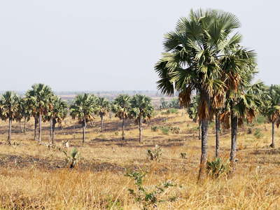 Murchison Falls NP  |  Palm savanna