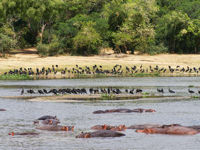 Murchison Falls NP  |  Wildlife in the Nile
