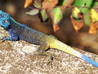 Lake Nyabikere  |  Blue-headed tree agama