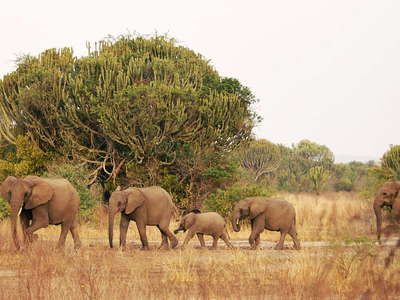 Queen Elizabeth NP  |  Herd of elephants