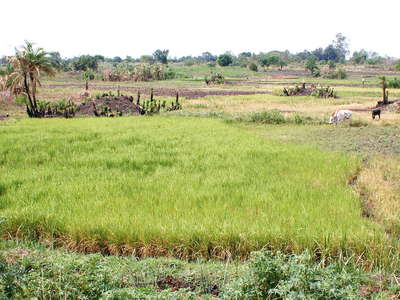 Eastern Uganda  |  Rice cultivation