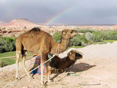 Tinghir  |  Dromedaries with rainbow