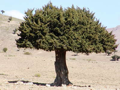 Tagalm  |  Juniper tree