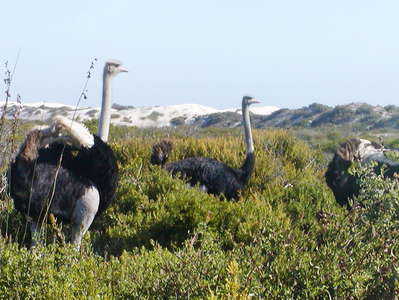 West Coast NP  |  Ostriches