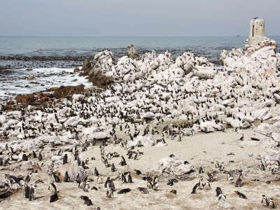 Betty's Bay  |  Stony Point with African penguins