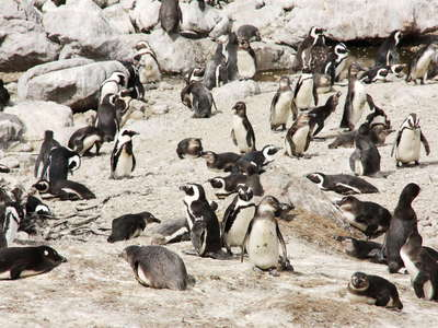 Betty's Bay  |  African penguins at Stony Point NR