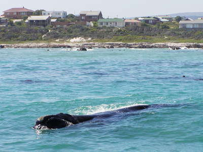 Walker Bay with whale