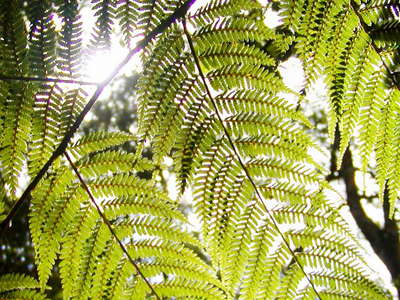 Knysna Forest  |  Cyathea capensis
