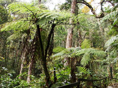 Kinabalu NP  |  Montane rainforest with tree ferns
