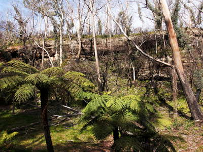 Katoomba  |  Tree ferns in burnt Eucalyptus forest