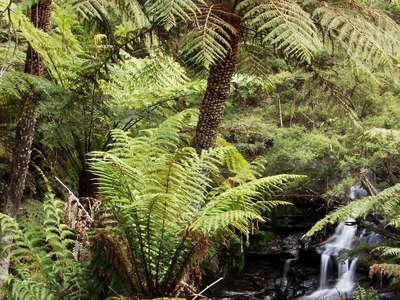 Leura  |  Tree ferns and waterfall