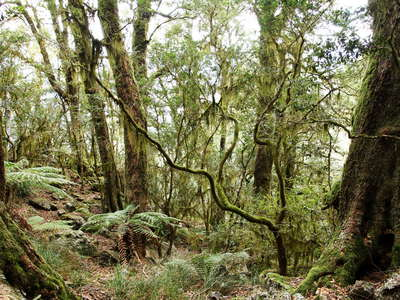 New England NP  |  Temperate rainforest with Lophozonia moorei