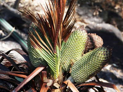 Standley Chasm  |  Cone of Macrozamia macdonnellii