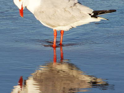 Surfers Paradise  |  Silver gull