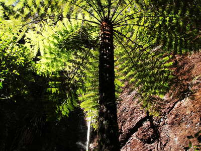 Springbrook NP  |  Tree fern