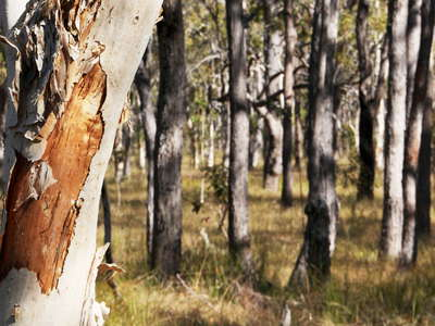 Childers  |  Eucalyptus forest