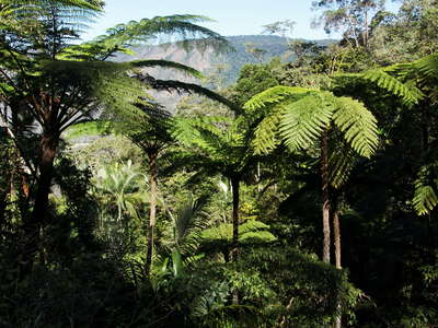 Eungella NP  |  Tree ferns