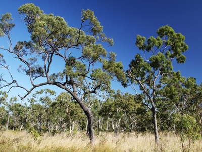 Bowen  |  Eucalyptus forest and grassland