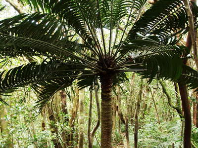 Mt. Sorrow  |  Tropical rainforest with cycad