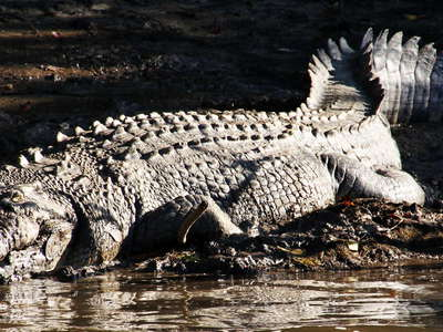 Daintree River  |  Old saltwater crocodile