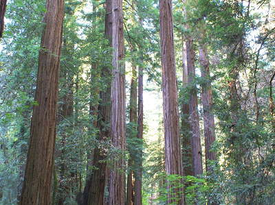 Muir Woods  |  Coast redwood